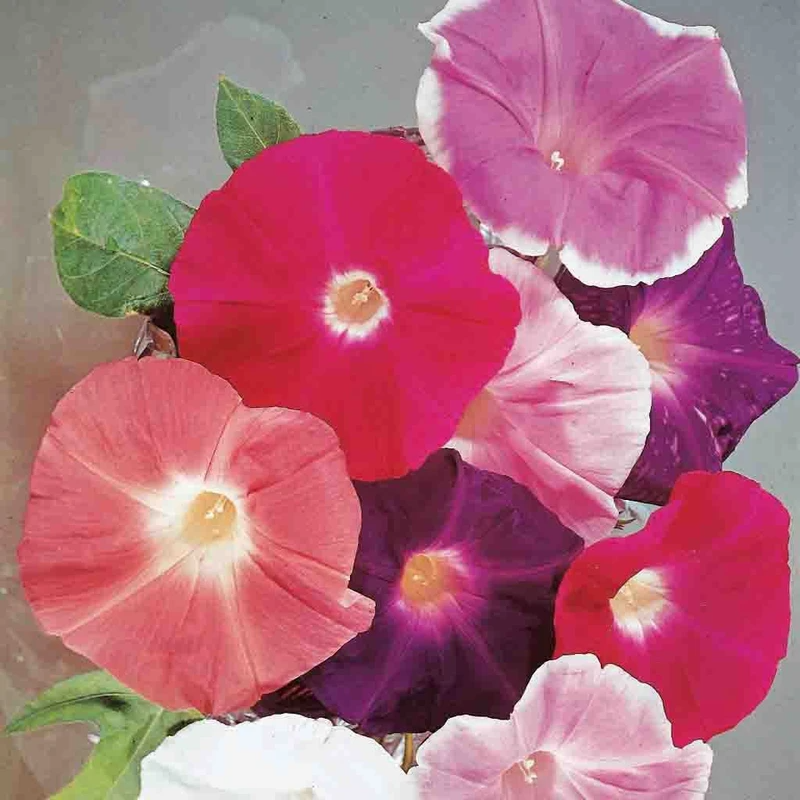 Morning Glory Giant Mixed Colors Seed in 2020 Morning