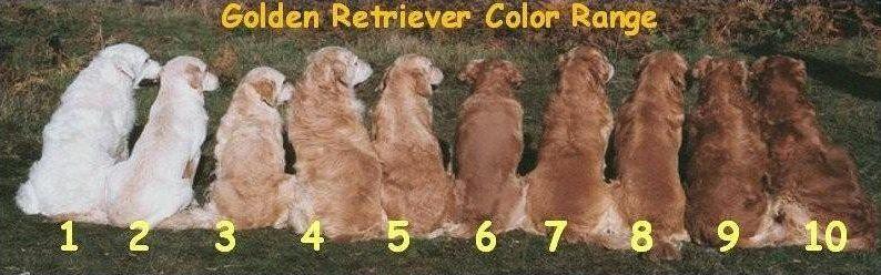 Golden Retriever Coat Colors Roter Golden Retriever Hunde