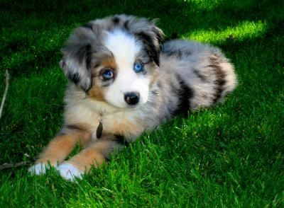 Scogins Mini Aussie Ava Cute Animals Shepherd Puppies Puppies