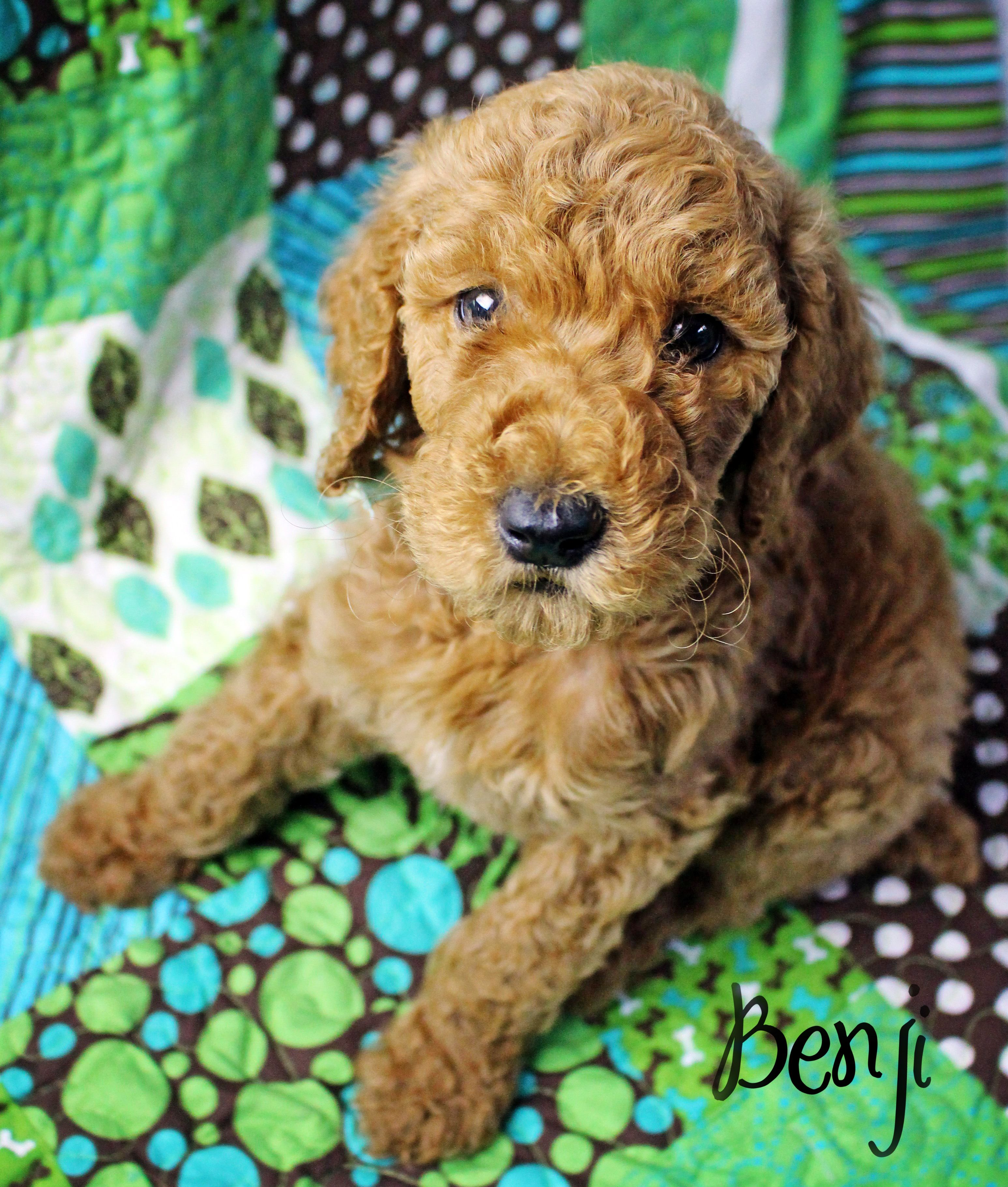 6 weeks old red apricot standard poodle puppy. Looks like ...