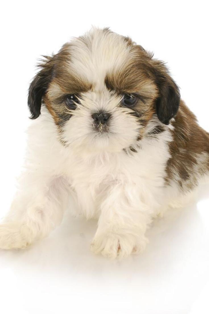 Cute Shih Tzu Puppy On White Background Shihtzu Shih Tzu Puppy Shih Tzu Puppies