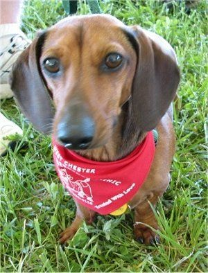 Dachshund Pics Hotdog Dog Pictures 4 Dog Breeds Pictures
