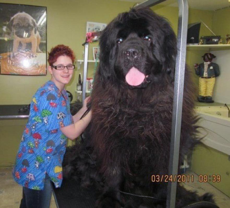 Newfoundland Dog Size Comparison Giant Dogs Big Dogs Huge Dogs