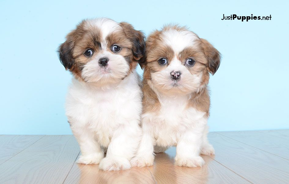Puppies For Sale Orlando Fl Justpuppiesnet Puppies N Dogs