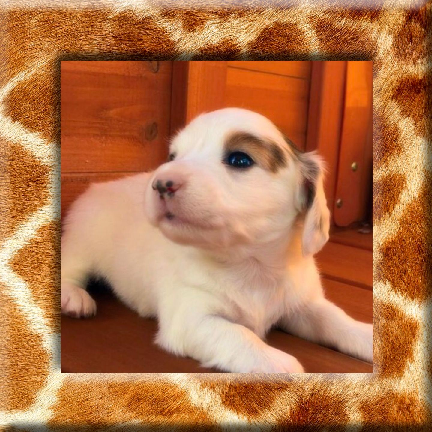 Extreme Piebald Miniature Dachshund Puppies For Sale Longhair