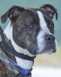 Adopt Jamison Sar 4525 On Pets Pitbull Terrier Dogs Bull