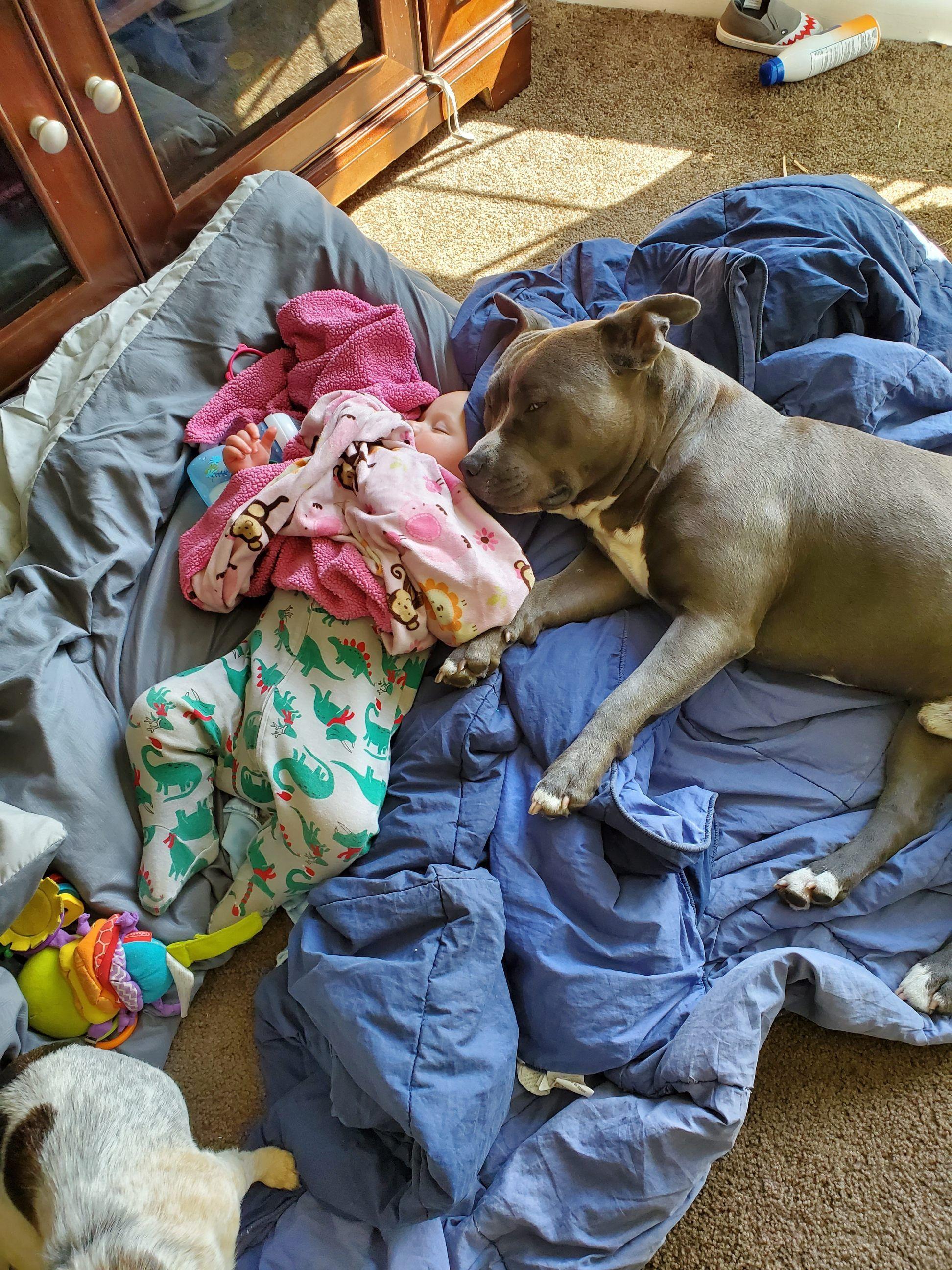 44 Adorable Pitbull Mixed Breeds In 2020 Pitbull Mix Breeds Pitbulls Cute Baby Animals