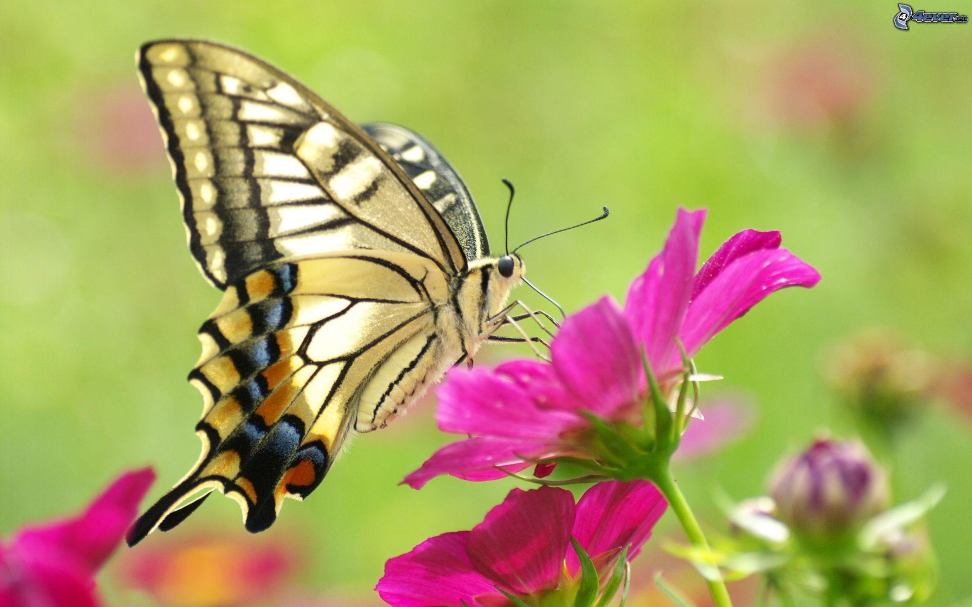 schmetterling  schmetterling auf der blume  butterfly on