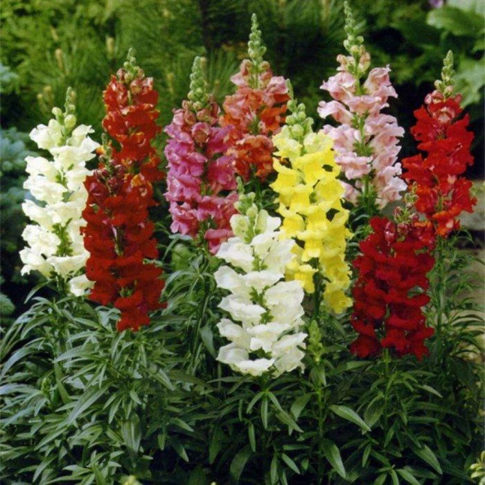 Tips To Care Snapdragon Outdoor Plants Snapdragon