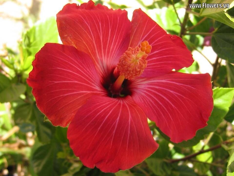Gorgeous Red Hibiscus Flower In Ibiza Town In August 2014 Hawaii Flowers Beautiful Flowers Flower Pictures