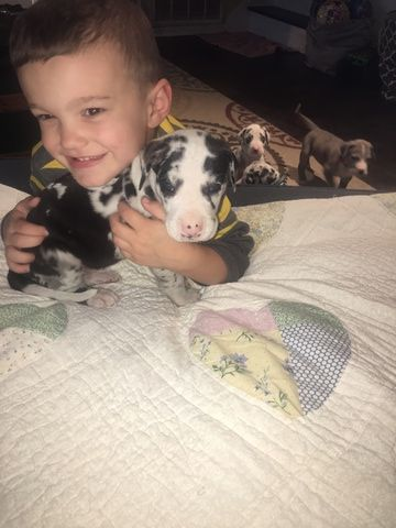 Great Dane Puppy For Sale In Mooresville In Adn 29267 On