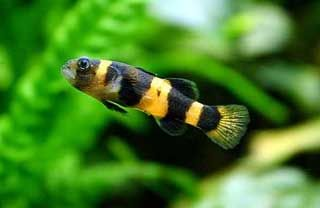 South American Bumblebee Catfish Profil Information Tag Asian Vs South American Bumblebee Catfish South American Bu Tropical Freshwater Fish Fish Goby Fish