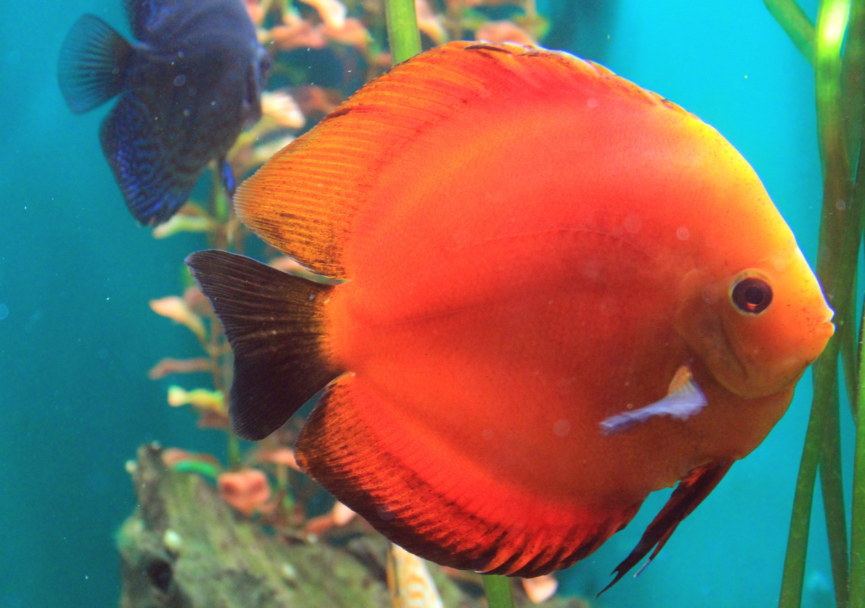 Image From Https Upload Wikimedia Org Wikipedia Commons B B5 Symphysodon Discus Prague 2011 1 Jpg Discus Fish Pet Fish Tropical Freshwater Fish