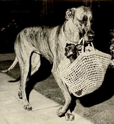 Another Great Dane Goin To Town With A Chihuahua In A Purse