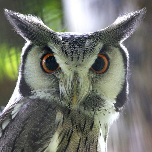 Pointy Head Owl