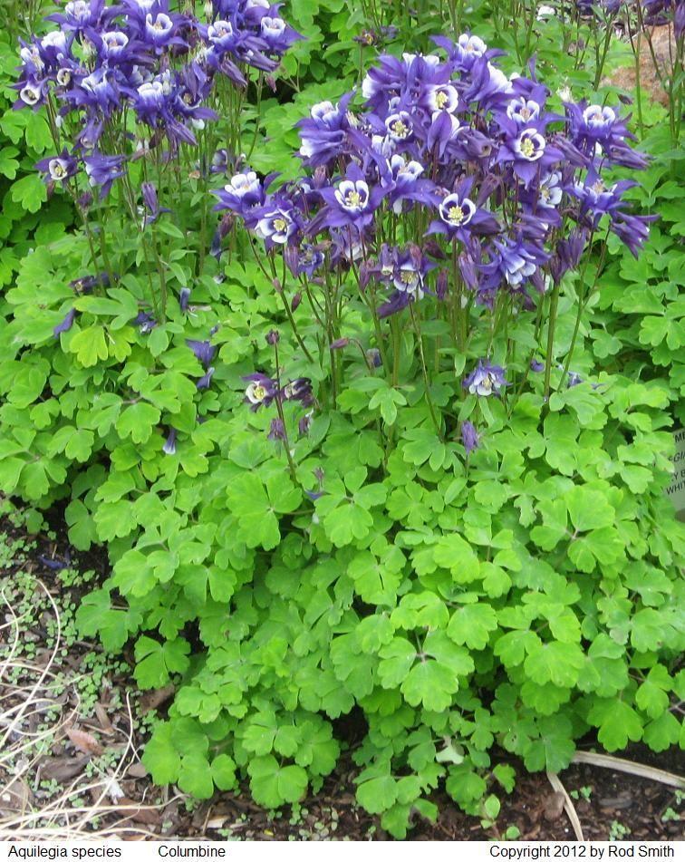 Perennials Zone 5 Purple - Google Search