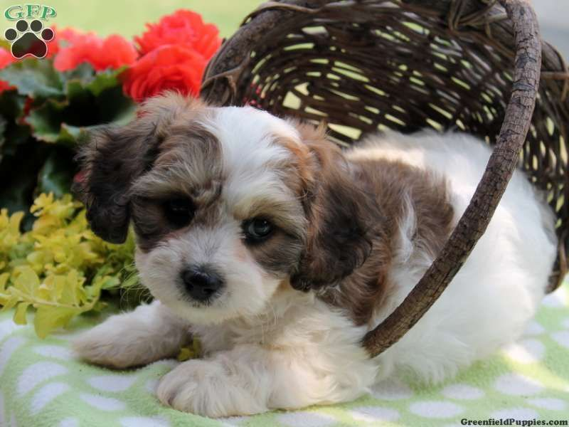 Chase Cavachon Puppy For Sale In Ronks Pa Cavachon Puppies