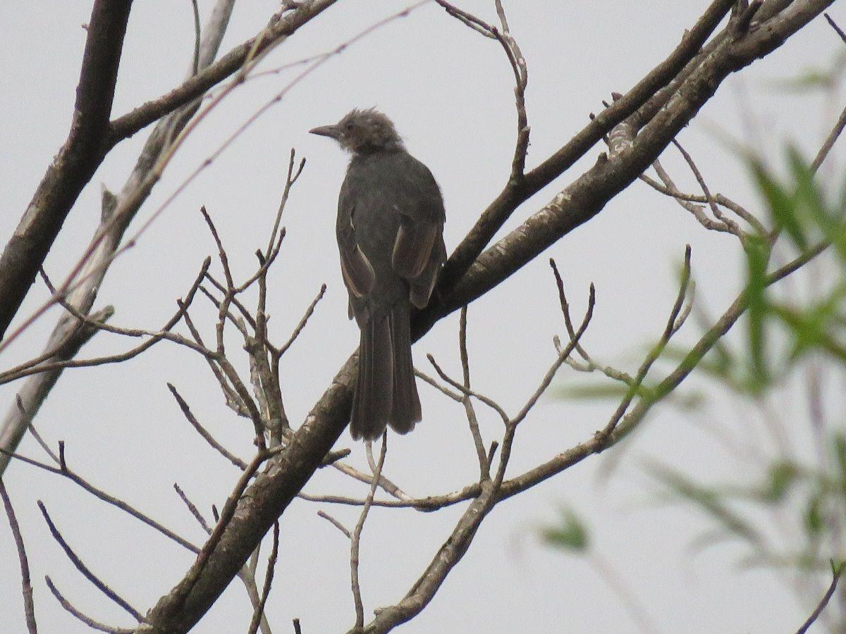 ヒヨドリの幼鳥. juvenile of brown-eared bulbul. 14 September 2016.
