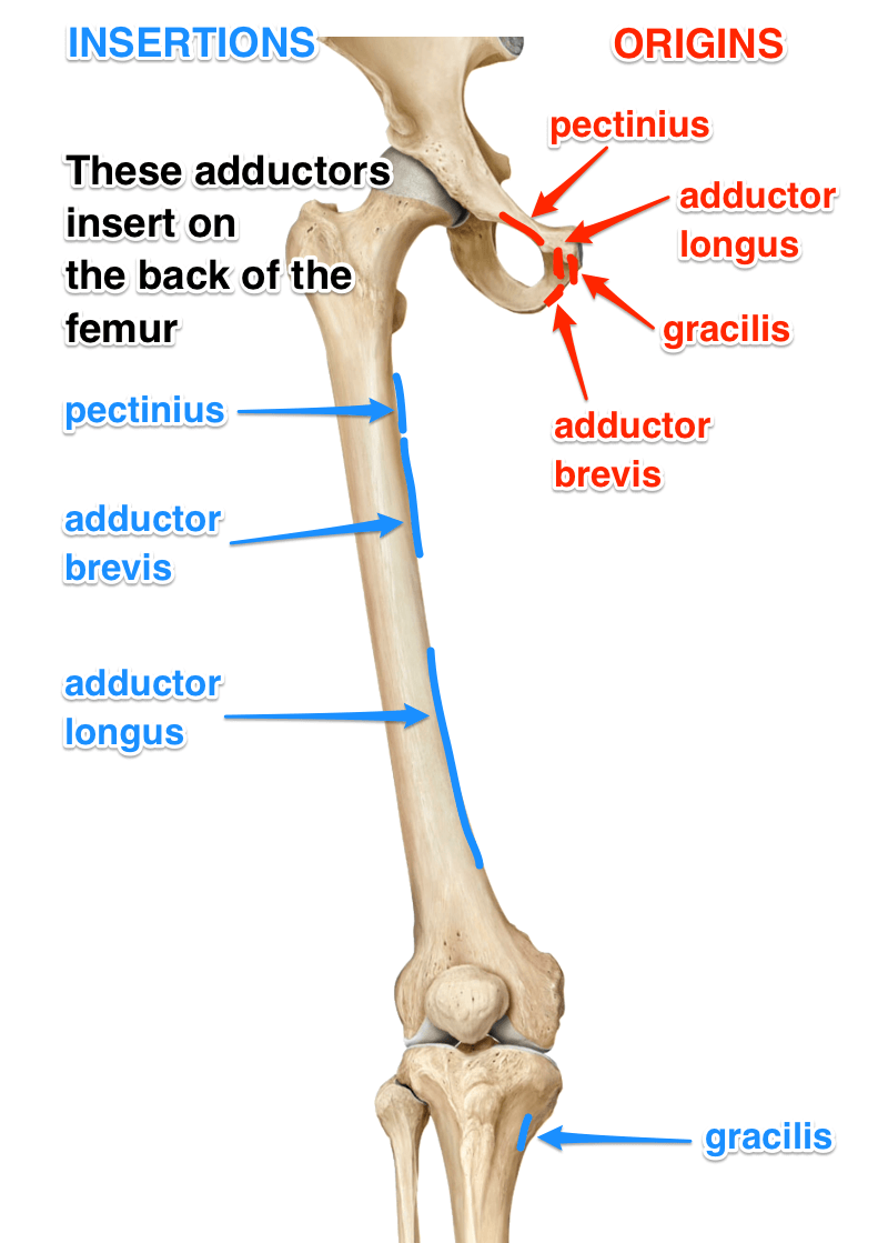 The Adductors: What Are The Adductor Muscles? | Anatomy | Pinterest ...