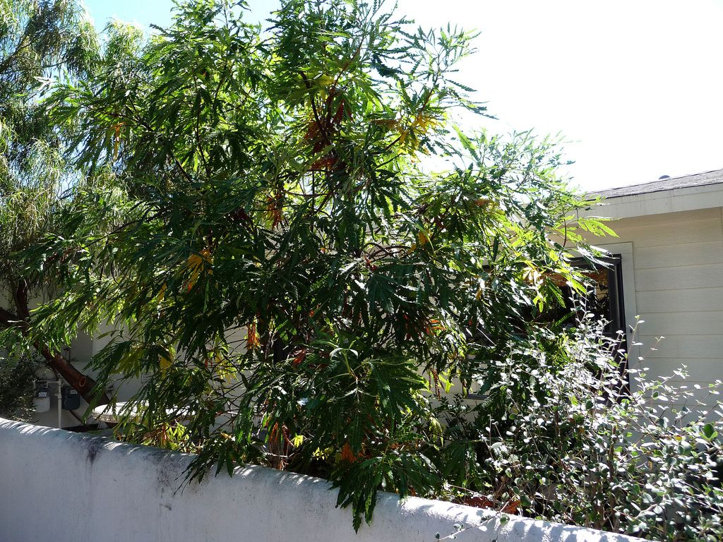 Catalina Ironwood tree - Lyonothamnus floribundus