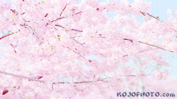 مجموعة من أزهار الساكورا Photo Hd Flowers Photo