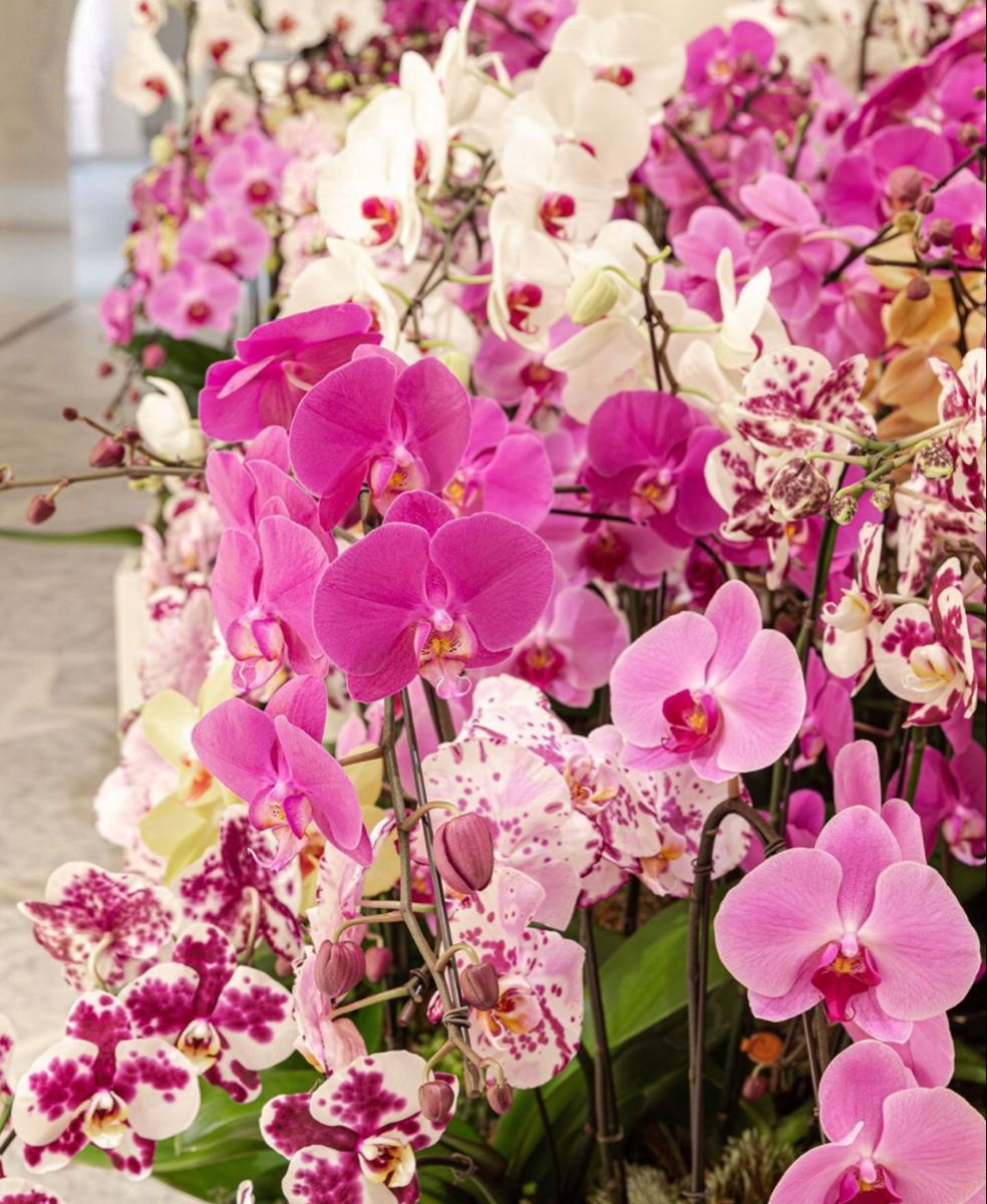 Orchids For Sale In 2020 Orchids Online Flowers For Sale Wholesale Flowers