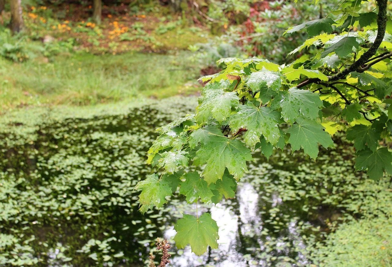 Bergahorn Baum Des Jahres Pflanzen Und Laub