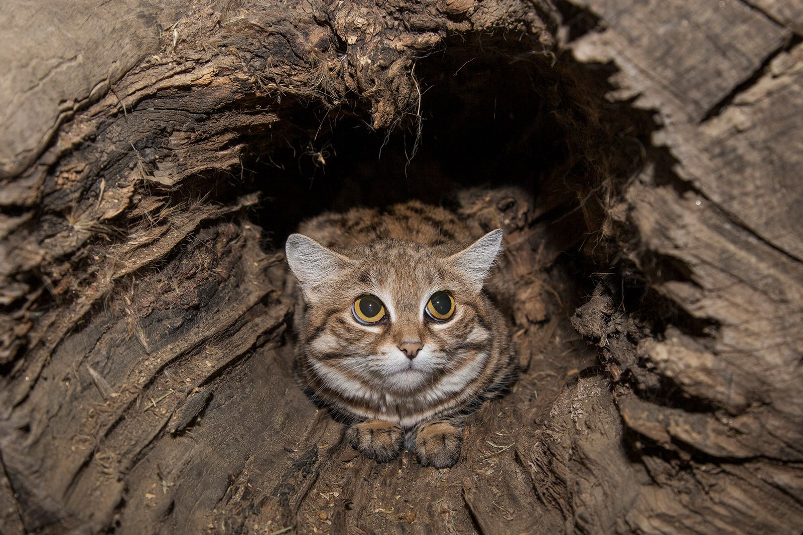 BlackFooted Cat Blackfooted cats, may resemble your