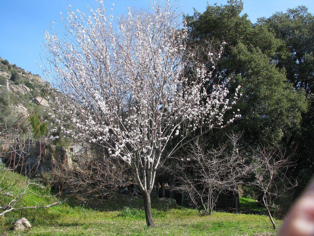prunus dulcis petit arbre floraison blanche pinterest prunus. Black Bedroom Furniture Sets. Home Design Ideas