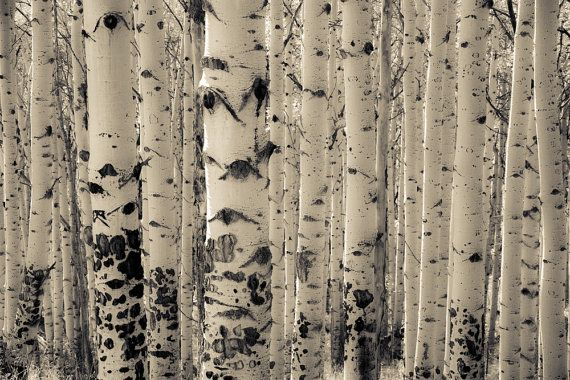 Aspen Trees Photo Colorado Art Rustic Decor Cabin Horizontal Wall Tree Livingroom Muted Aspens