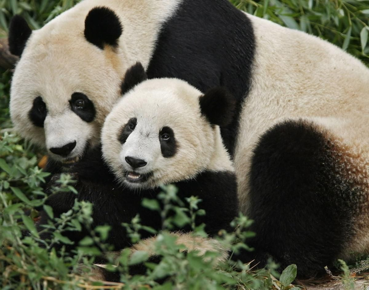 Panda With Her Baby