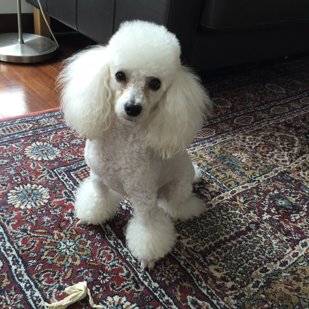 Izapromise Taji Dime Standard Poodle Pinterest Poodle - Dog obsessed with stuffed santa toy gets to meet her idol in real life