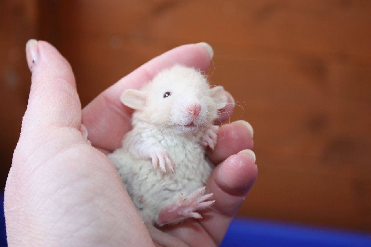 Fancy Baby Rats For Sale Dumbo Hairless Rex 56cb38e1e9259 Jpg 1280 853 Baby Rats Cute Rats Pet Rats