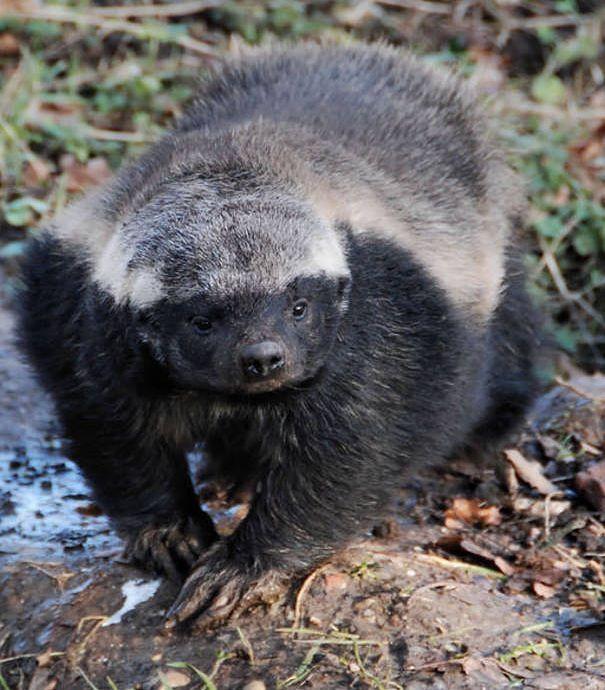 Badger Facts | Marder, Tier und Natur