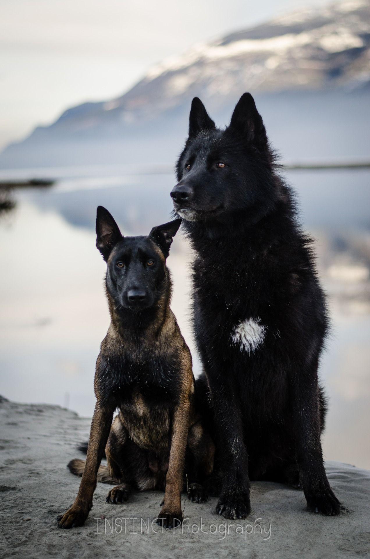 Belgian Malinois & Alaskan Noble Companion Dog | Animalia | Malinois