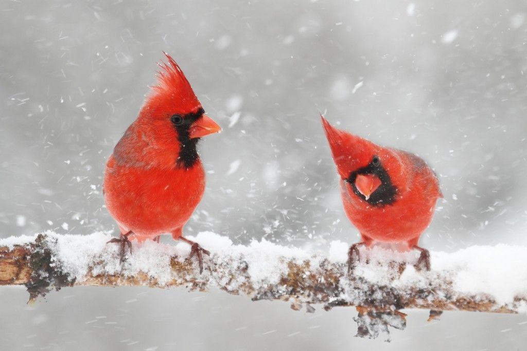 Cardinals Birds Animal Messages And Totems Spirit Animals
