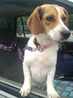 Meet Aroya A Petfinder Adoptable Beagle Dog Hanover Pa Aroya