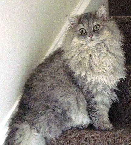 Pin By Sebas Alegre On Cats Selkirk Rex Laperm And Other Curly Haired Cats In 2020 Selkirk Rex Kittens Pretty Cats Cats And Kittens