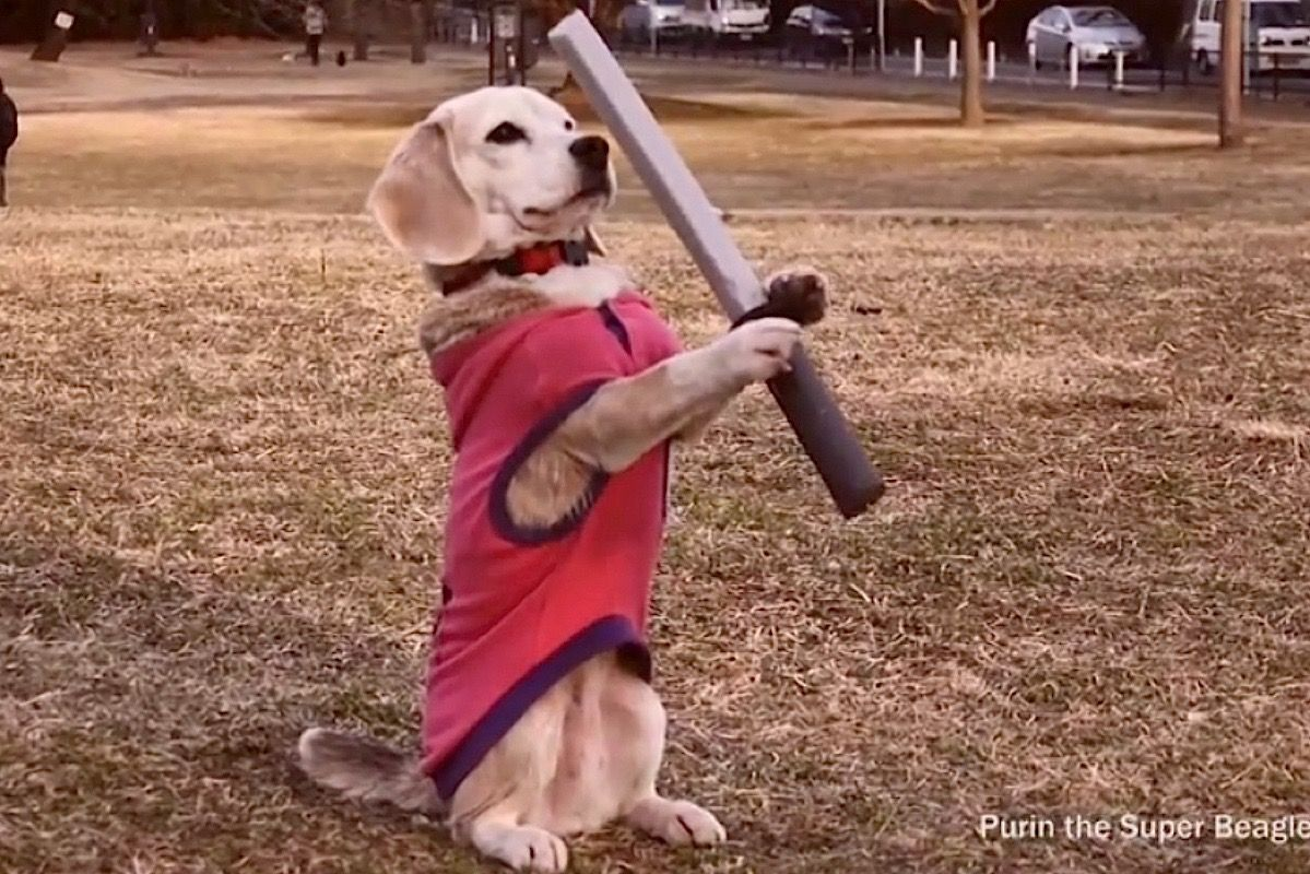Must see Video Beagle Adorable Dog - b0a7c639ee452b3d6a9782ecf70dcc4c  Gallery_708275  .jpg