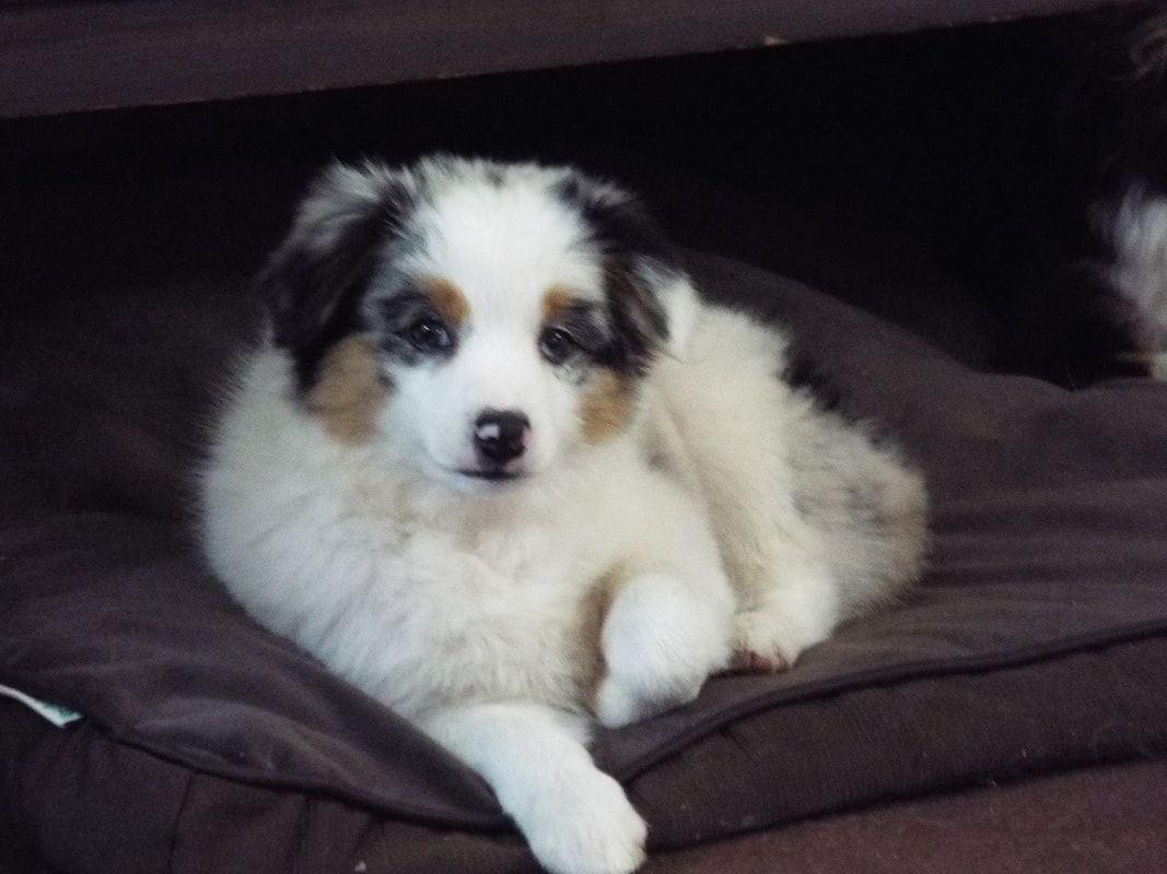 Mytoyaussie Com My Toy Aussie Com Toy Australian Shepherd Breeder In Michigan 231 215 8377 In 2020 Dog Breeding Business Dogs And Kids Animal Hospital