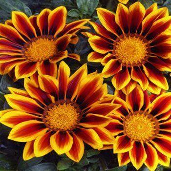 Top Plants For Seaside Gardens Coastal Plants Salty Soil Chrysanthemum Seeds Flower Seeds Garden Plant Pots