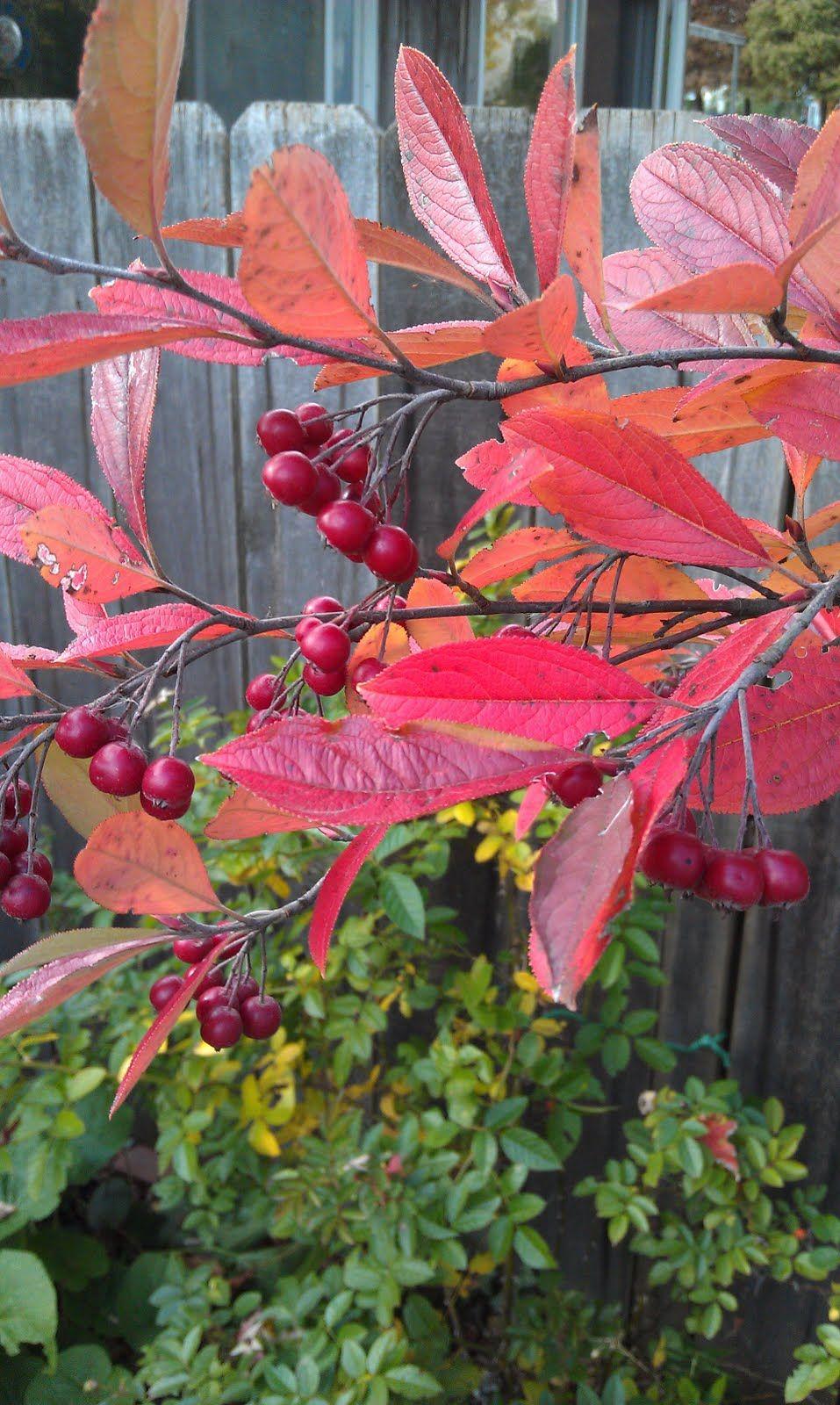 Chokeberry aronia arbutifolia ubrilliantissimau provides food for