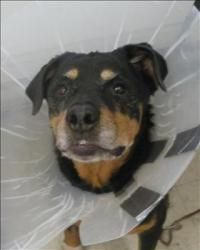 Lexy Is An Adoptable Rottweiler Dog In Surrey Bc Primary Color Black Secondary Color Tan Weight 45 5 Age 7yrs 0mths Rottweiler Dog Fur Babies Rottweiler