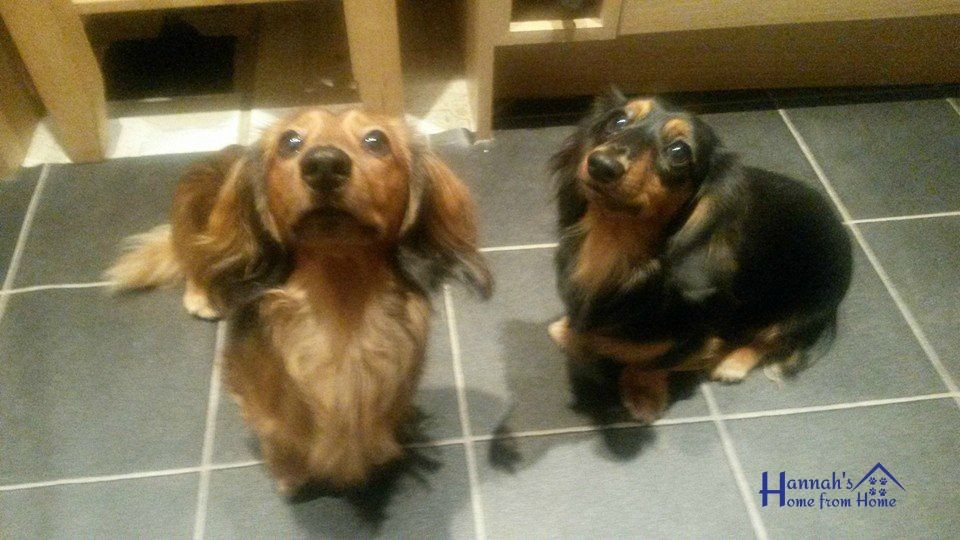 Russell And Pippin Come To Stay Dachshunds Sausagedog Dog