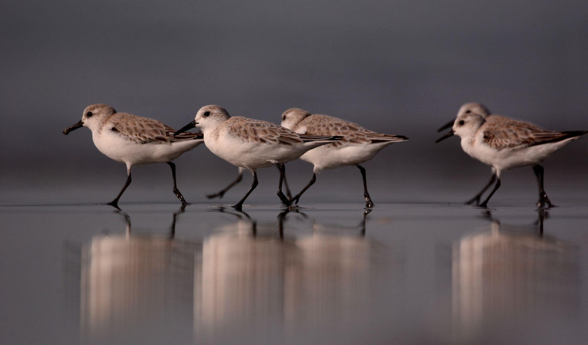 Sanderlings by Alex Appleby on 500px