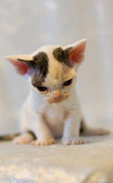 Kitten Number Four 2 Devon Rex Cats Cute Cats Photos Cute Cats