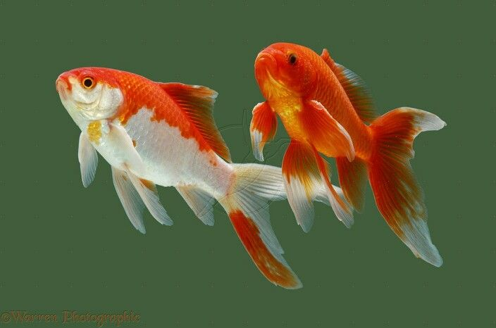 Goldfish Sarasa Comets Are Characterized By Their Red And White Coloration And Resemble The Kōhaku Colour Pattern I Goldfish Aquarium Goldfish Comet Goldfish