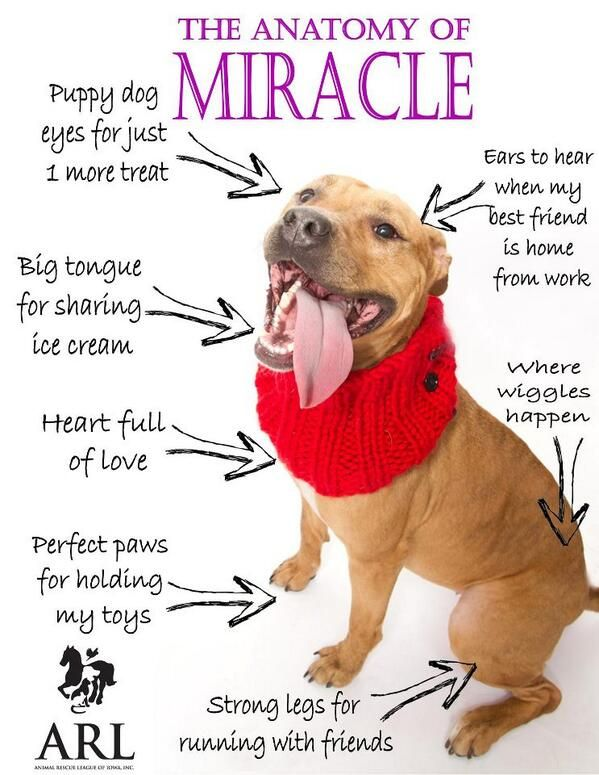 The Anatomy Of A Miracle Adorable Adoptable Dog Promo From Animal Rescue League Of Iowa Animal Rescue League Pitbull Puppies Dog Adoption