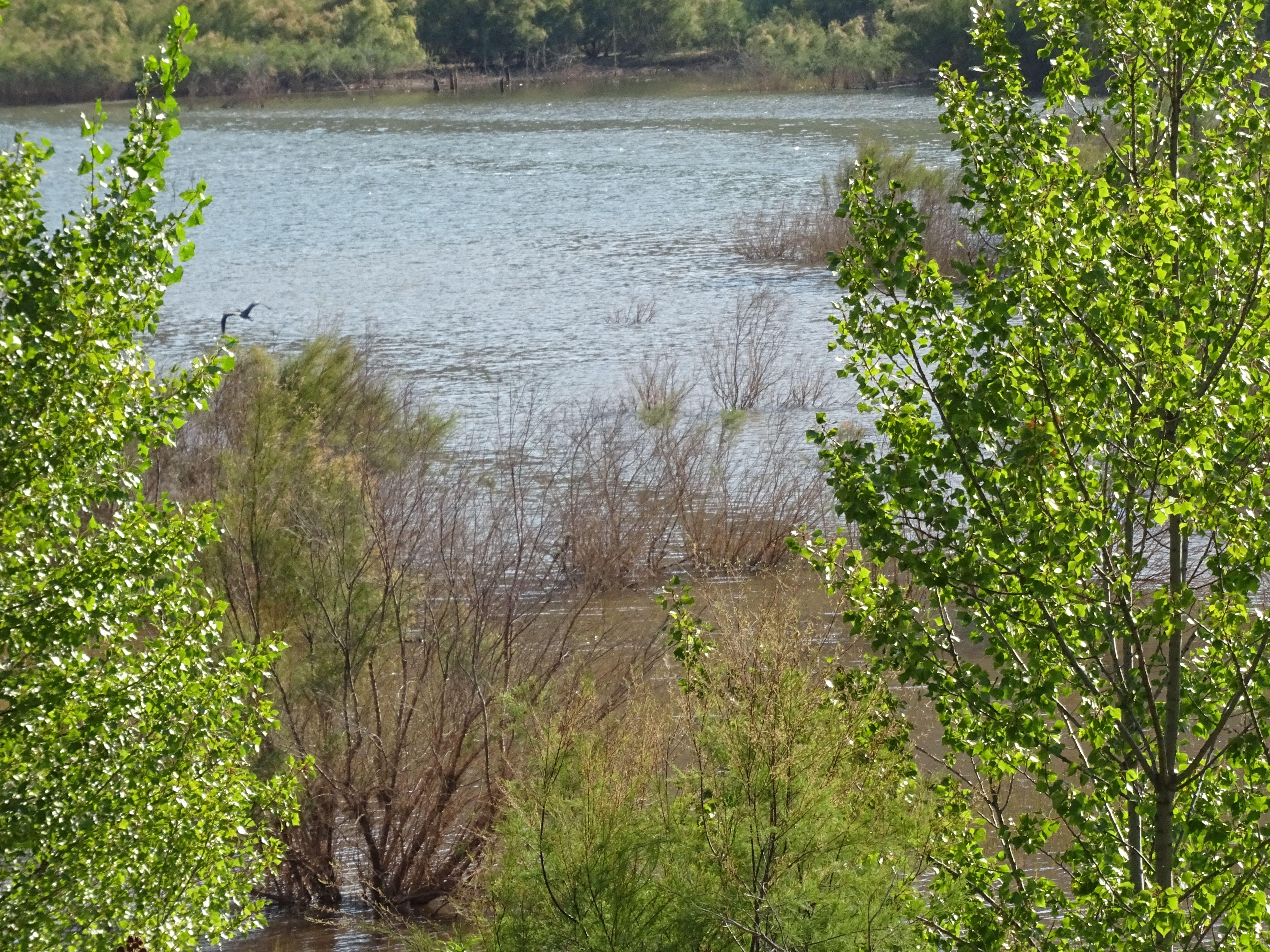 Vemos el pantano de El atance con sus aguas verdosas entre los bosques de chopos y tarays, una garza está levantando el vuelo. La imagen inspira paz
