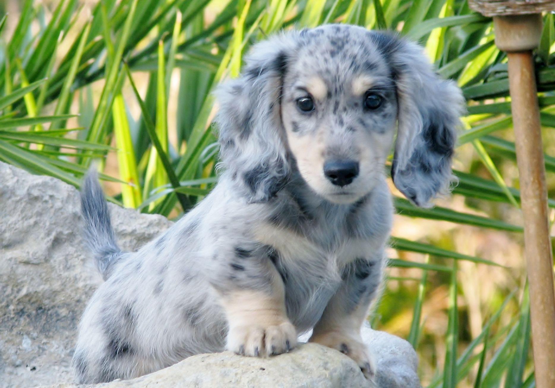 Black and cream dachshund